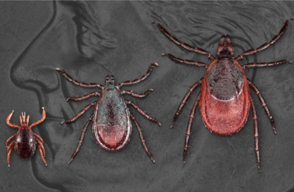 Lyme disease ticks